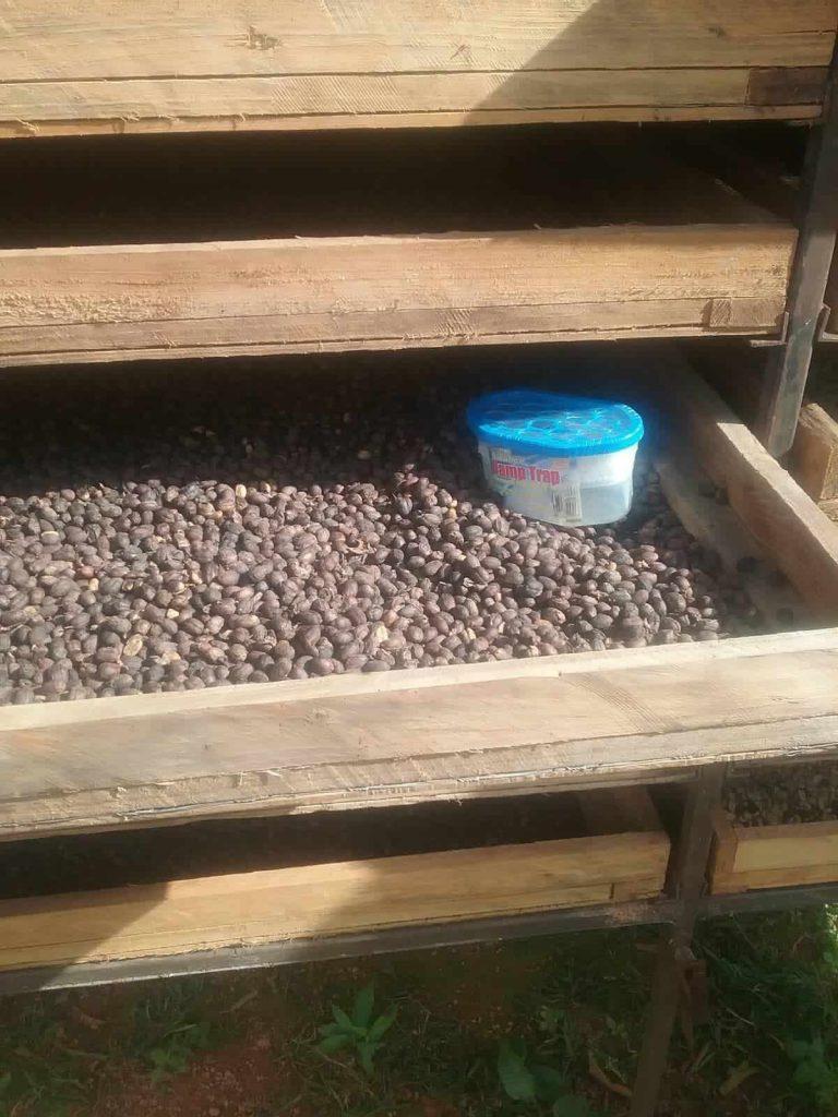 فرآوری کاسکارا و خشک کردن گیلاس قهوه