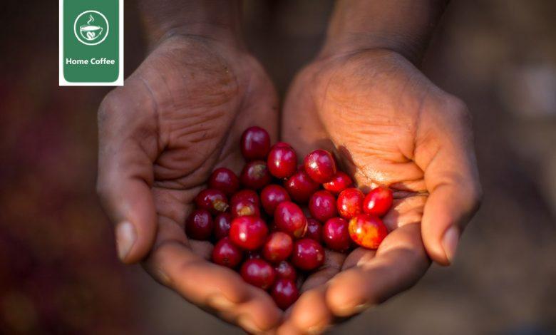میوه قهوه اوگاندا