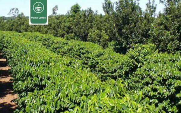 کشت قهوه عربیکا