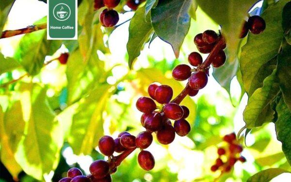 مشخصات قهوه اتیوپی