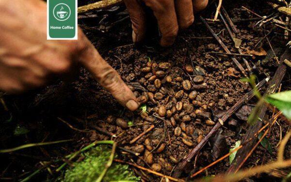 تاریخچه قهوه در ویتنام