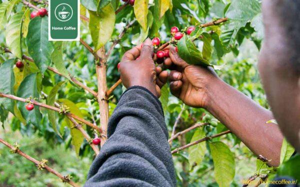 فرآوری قهوه کنیایی
